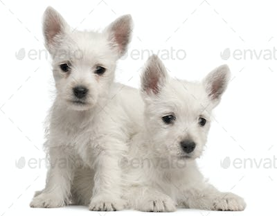 Two West Highland Terrier puppies, 7 weeks old, in front of white background