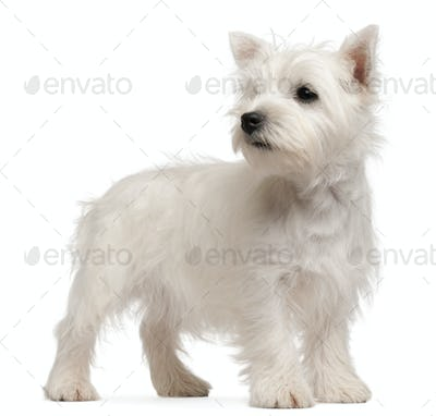 West Highland Terrier puppy, 4 months old, in front of white background