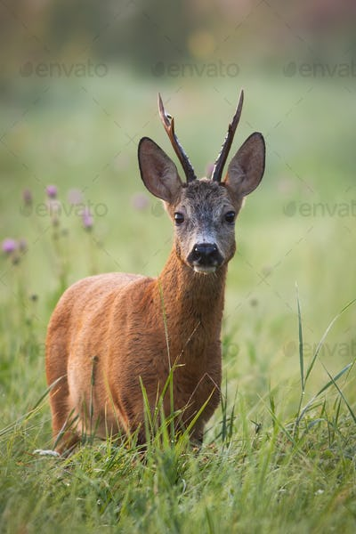 Roe deer stag standing on flower field in summertime nature