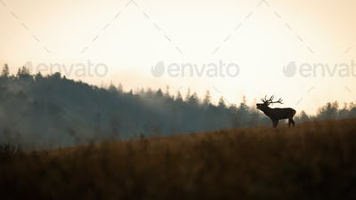 Red deer roaring on hills in autumn nature panoramatic