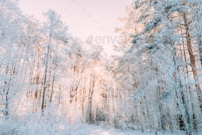 Sunset Sunrise Sun Sunshine In Sunny Winter Snowy Coniferous Forest. Sunlight Through Woods In