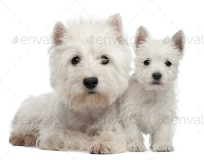 Two West Highland Terrier puppies, 4 months old and 7 weeks old, in front of white background