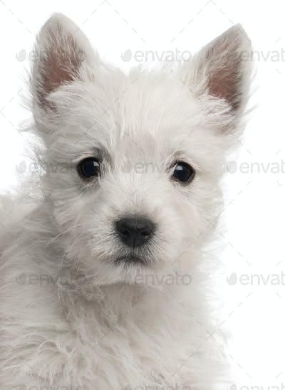 Close-up of West Highland Terrier puppy, 7 weeks old, in front of white background