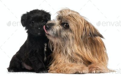 Pyrenean Shepherd and puppy licking, 3 years old and 6 weeks old, in front of white background