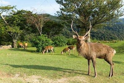 Duck Nara deer