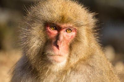 Wildness snow monkey
