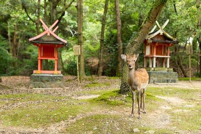 Deer in a japanese temple