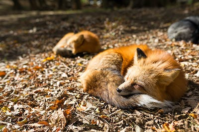 Red fox sleeping at outdoor