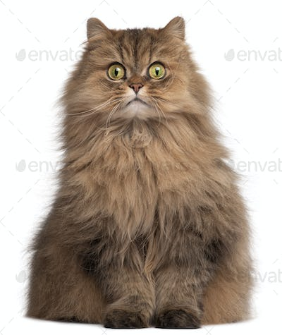 Persian cat, 6 years old, in front of white background