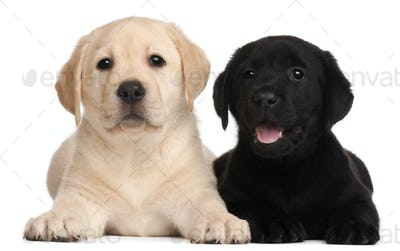 Two Labrador puppies, 7 weeks old, in front of white background