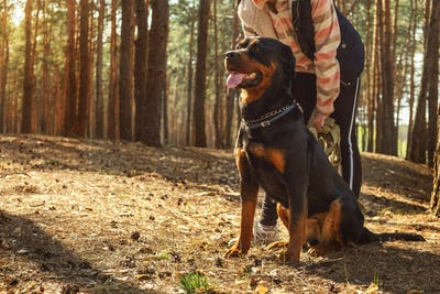 Walking with a dog in a coniferous forest