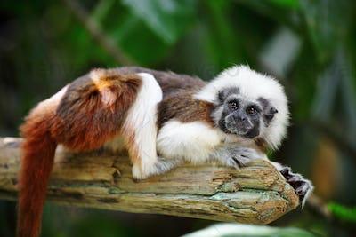 cotton top monkey