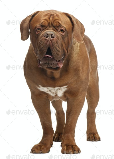 Dogue de Bordeaux, 20 months old, standing in front of white background