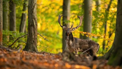 Majestic fallow deer stag standing in forest in autumn