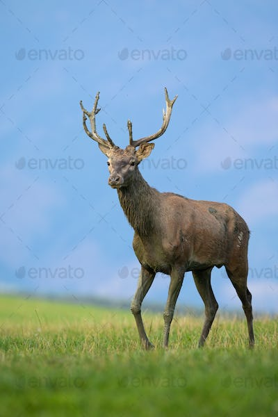 Juvenile red deer walking on meadow in autumn nature