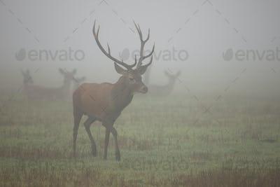 Majestic red deer walking on meadow in morning mist