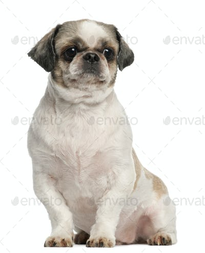 Shih Tzu, 8 years old, sitting in front of white background