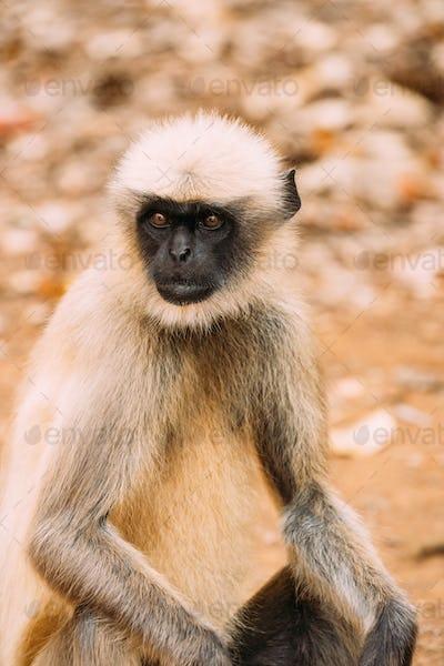 Goa, India. Gray Langur Monkey Sitting On Forest Ground