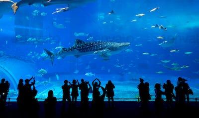 Whale shark in Okinawa Churaumi Aquarium