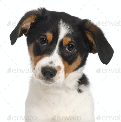 Close-up of Mixed-breed puppy, 2 and a half months old, in front of white background