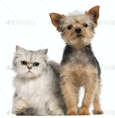 Yorkshire Terrier, 3 years old, and a Persian cat in front of white background