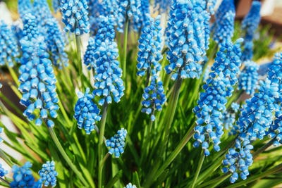 flower bed with blue muscari flowers. Europe