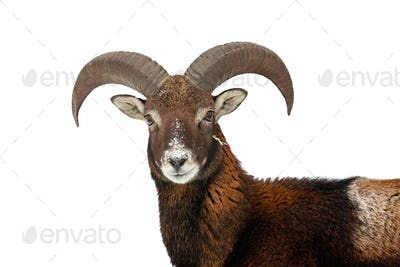 Mouflon looking to the camera isolated on white background