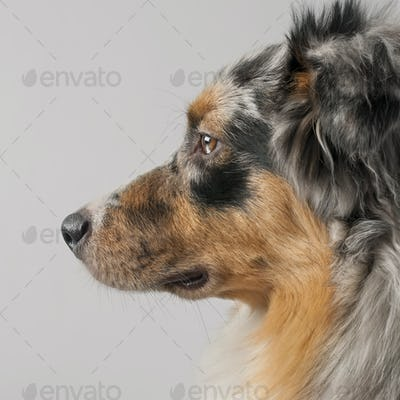 Close-up of Australian Shepherd dog, 10 months old, in front of grey background