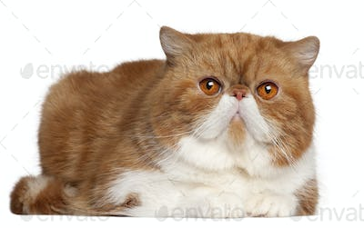 Exotic Shorthair cat, 2 and a half years old, lying in front of white background