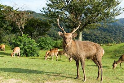 Nara male deer