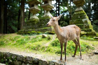 Doe deer in Nara park