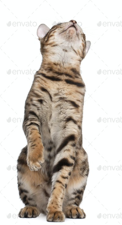 Bengal cat, 7 months old, looking up in front of white background