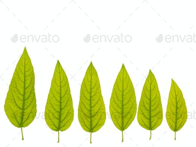 Collection of green leaves of a tree on a white background, isolate