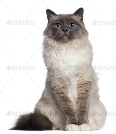 Birman cat, 2 and a half years old, sitting in front of white background