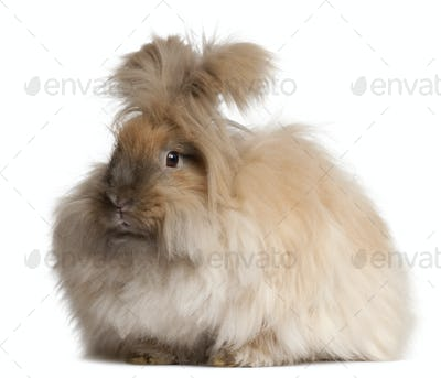 English Angora rabbit in front of white background