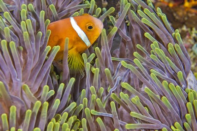 Blackfinned Anemonefish, South Ari Atoll, Maldives