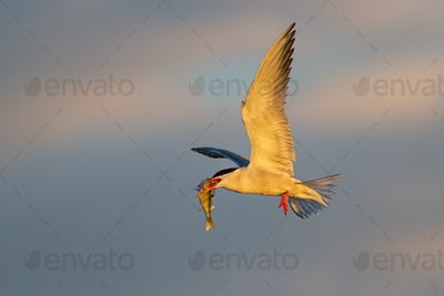 Common tern flying in the air in springtime nature