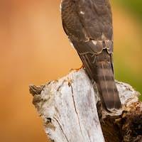 Eurasian sparrowhawk sitting on stump in autumn nature