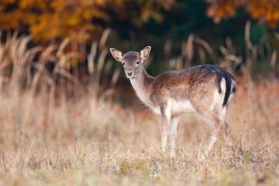 Little fallow deer standing on meadow in autumn sunset