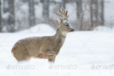Roe deer buck walking on snow in wintertime nature