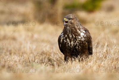 Dominant common buzzard screeching on a field in autumn