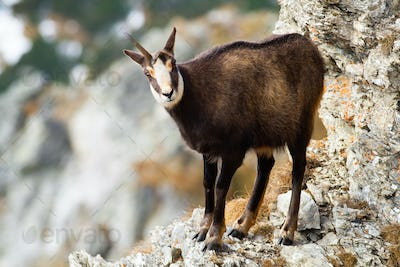 Tatra chamois standing on rock mountains in winter time