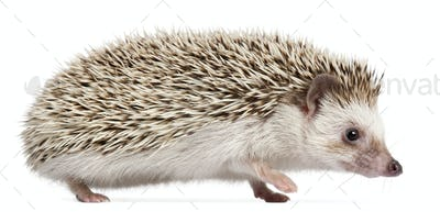 Four-toed Hedgehog, Atelerix albiventris, 6 months old, in front of white background
