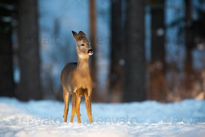 Roe deer doe standing on meadow in wintertime nature