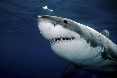 Great White Shark view from below, jaws and teeth, Carcharodon carcharia
