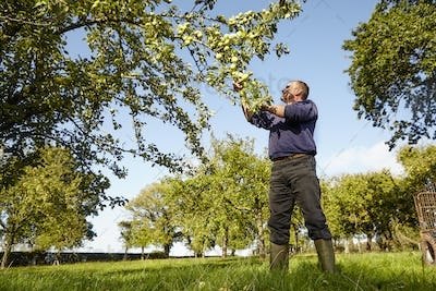 A man harvesting apples from the boughs of an apple tree, in a cider orchard.