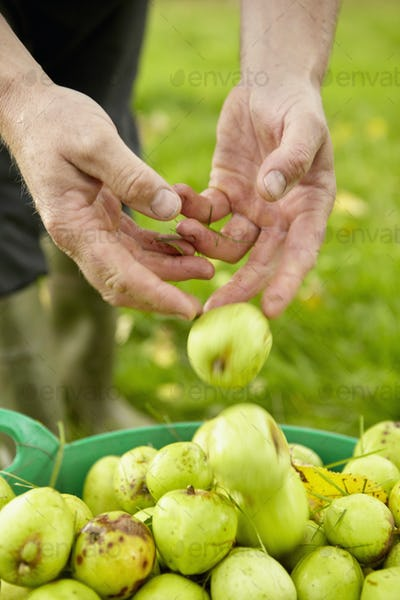 A man sorting apples in a large green bucket.
