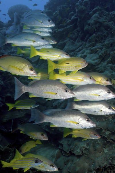 Schooling fish,  Blue line snapper, Lutjanus Kasmira, and Long spot snapper underwater
