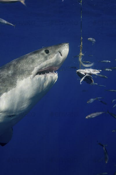 Great White Shark (Carcharodon Carcharias), underwater