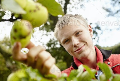 A young man reaching to pick cider apples from the bough of a tree in an orchard.